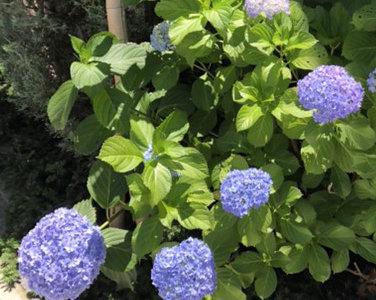 OB様宅にて『アジサイと初夏の緑』を愛でる